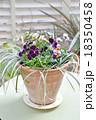 寄せ植え パンジー ビオラの写真 18350458