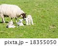 草原の羊の親子 18355050