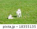 草原で休む二匹の子羊たち 18355135