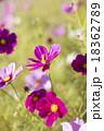 コスモスとミツバチ 18362789
