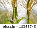 ススキの穂とバッタ 18363745