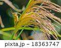 ススキの穂とバッタ 18363747