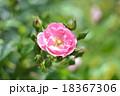 一輪のバラ 18367306