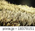 すすき 野草 秋の写真 18370151