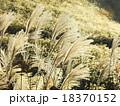 すすき 野草 秋の写真 18370152