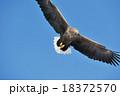 空飛ぶオジロワシ 18372570