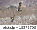 争う2羽のオジロワシ 18372708