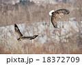 争う2羽のオジロワシ 18372709