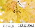 植物 紅葉 カエデの写真 18381598