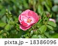 バラの花 18386096