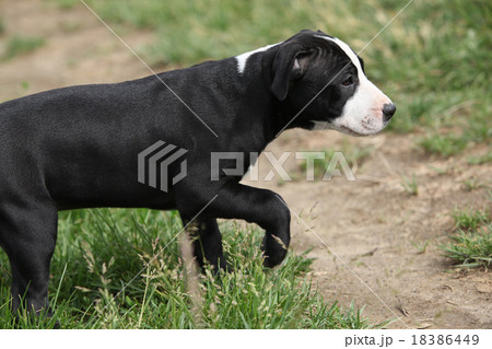 Beautiful puppy of American Pit Bull Terrier 18386449