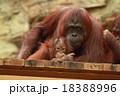 オランウータンの親子 18388996