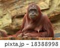 オランウータン 18388998