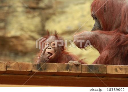 オランウータンの子供 18389002