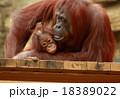 オランウータンの親子 18389022