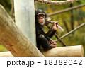 チンパンジーの子供 18389042