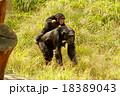チンパンジーの親子 18389043