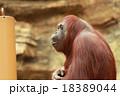 オランウータン 18389044