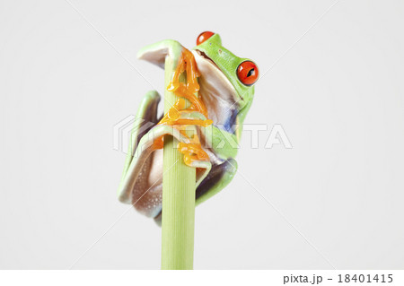 Red eyed frog green tree on colorful background