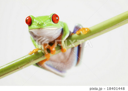 Red eye tree frog on colorful background