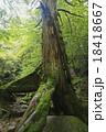 三本杉 屋久杉 巨樹の写真 18418667