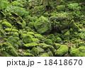 白谷雲水峡 原生林 苔の写真 18418670