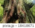二代大杉 屋久杉 巨樹の写真 18418671