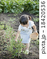 ブルーベリー 女の子 収穫の写真 18420536