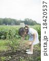 ブルーベリー 女の子 収穫の写真 18420537