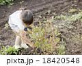 ブルーベリー 女の子 収穫の写真 18420548