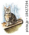 動物 猫 アメリカンショートヘアーのイラスト 18427294