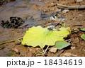 トンボ オオシオカラトンボ シオカラトンボの写真 18434619