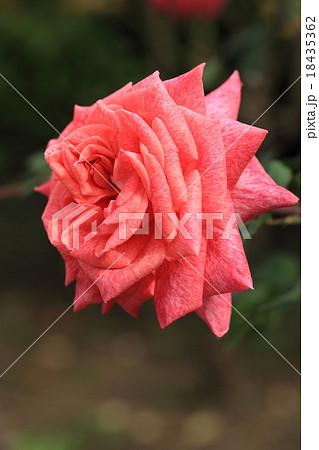 ピンクに霜降りのバラの花・ピエールカルダン 18435362