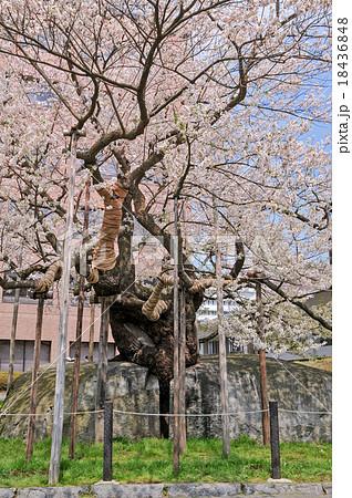 天然記念物石割桜 18436848