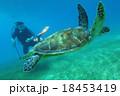 亀 ダイバー ウミガメの写真 18453419
