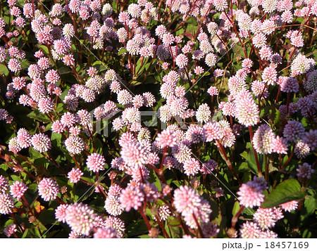 敷き詰められた絨毯のように咲くヒメツルソバ薄いピンクの花 18457169