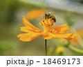 キバナコスモスとミツバチ 18469173