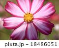 コスモス 桃色 花の写真 18486051