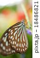 蝶 18486821