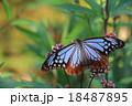 アサギマダラ 18487895