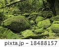 6月初夏 屋久島の苔むす森ー白谷雲水峡の原生林 18488157