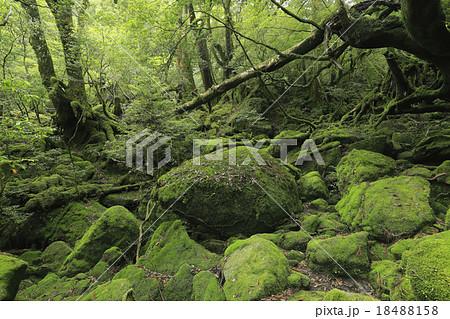 6月初夏 屋久島の苔むす森ー白谷雲水峡の原生林 18488158