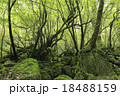 6月初夏 屋久島の苔むす森ー白谷雲水峡の原生林 18488159