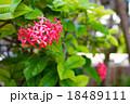 グアムの花 18489111