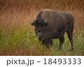 Buffalo in Yellowstone 18493333