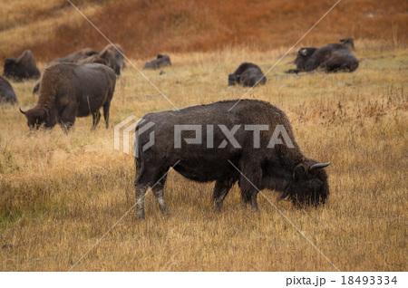 Buffalo in Yellowstone 18493334