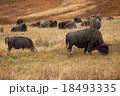 Buffalo in Yellowstone 18493335