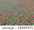 チューリップ畑 18495955