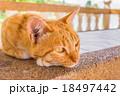 動物 ねこ ネコの写真 18497442