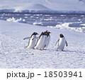 ジェンツーペンギン 18503941